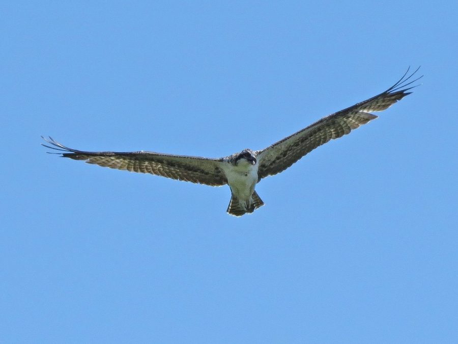 osprey fledgling in flight over the nest Sand key Park Clearwater Florida