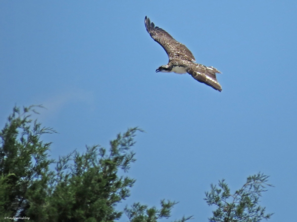 osprey fledgling in flight Sand key Park Clearwater Florida