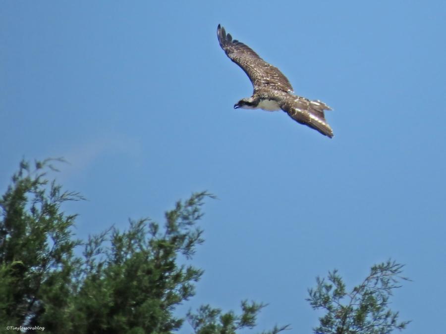 osprey fledgling in flight Sand key Park Clearwater Florida