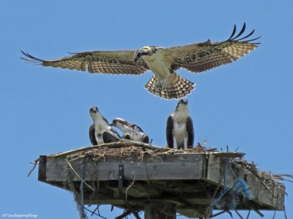 Oldest osprey nestling practices flying Sand key Park Clearwater Florida