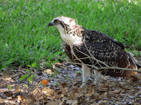 Osprey fledgling on the ground Sand key Park Clearwater Florida