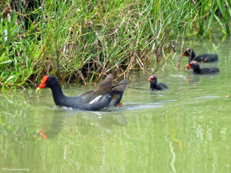 Moorhen with her chicks Sand Key Park Clearwater Florida