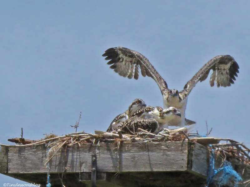 female osprey with chicks Sand Key park Clearwater Florida