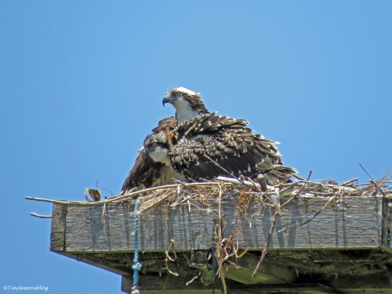 Female osprey and an osprey chick Sand Key park Clearwater Florida