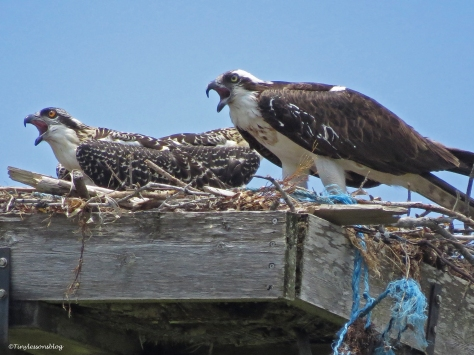 osprey mom and chick await for fish transport Sand Key Park Clearwater Florida