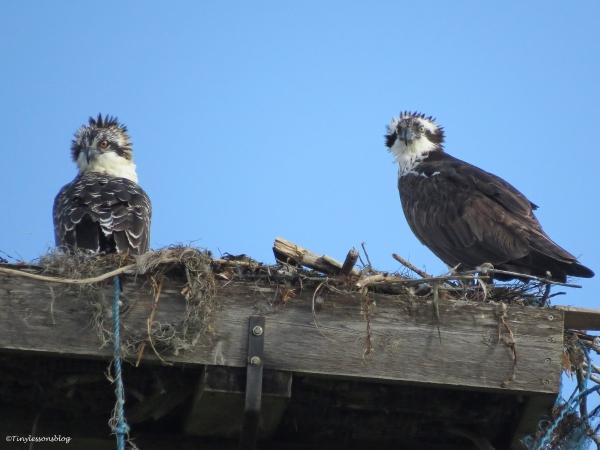 a female osprey with her chick Sand Key Park Clearwater Florida