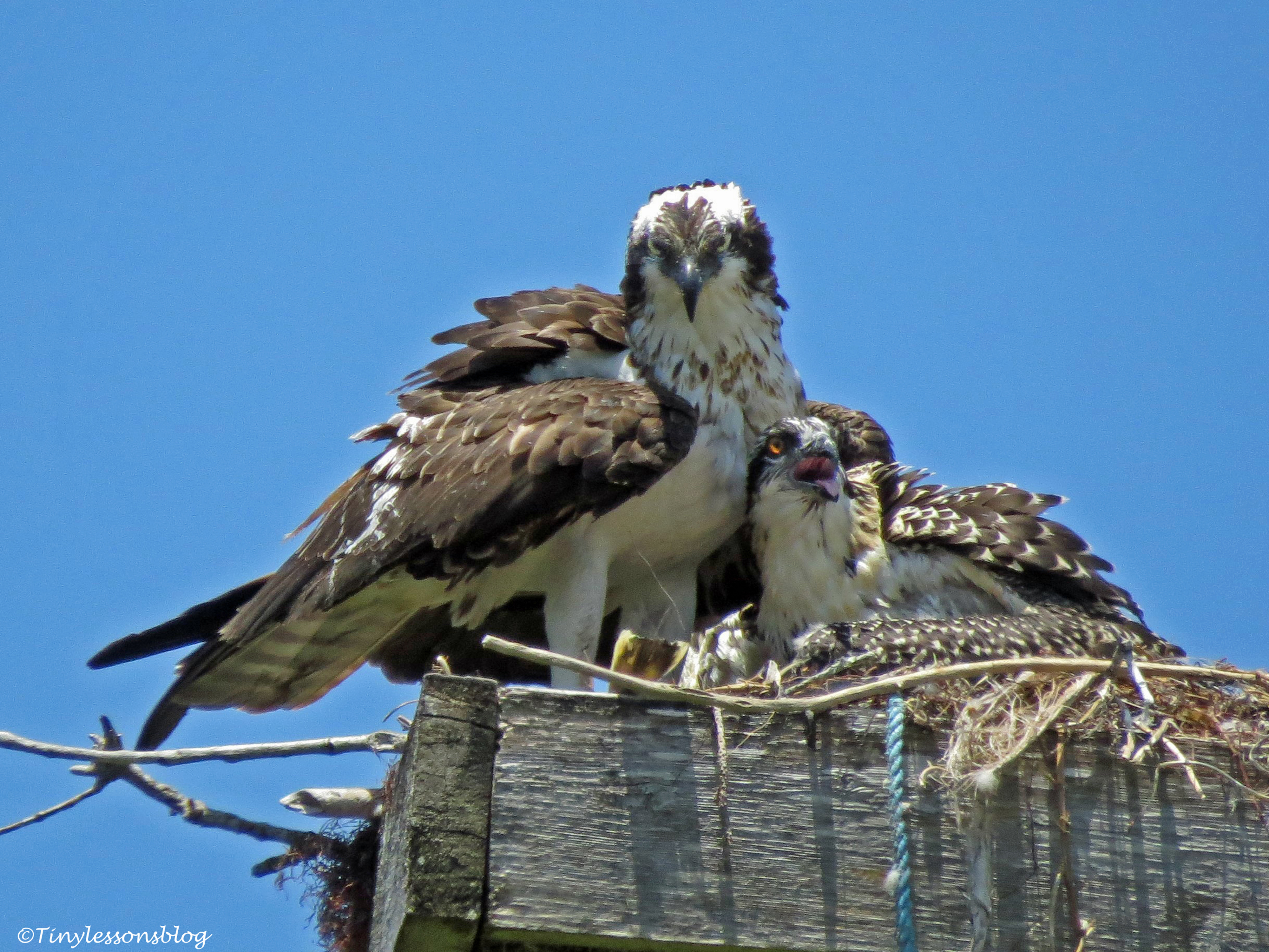 Female osprey with a chick Sand Key park Clearwater Florida