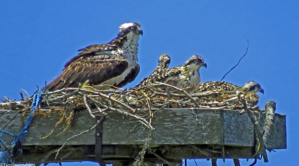 female osprey with three chicks Sand key park clearwater florida