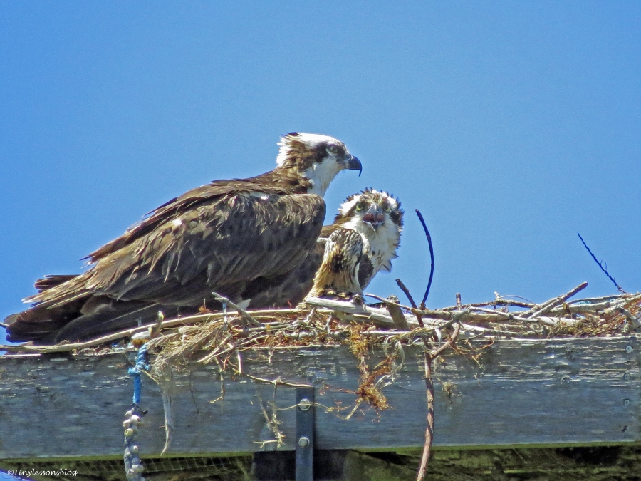 osprey couple in Sand Key Park Clearwater Florida