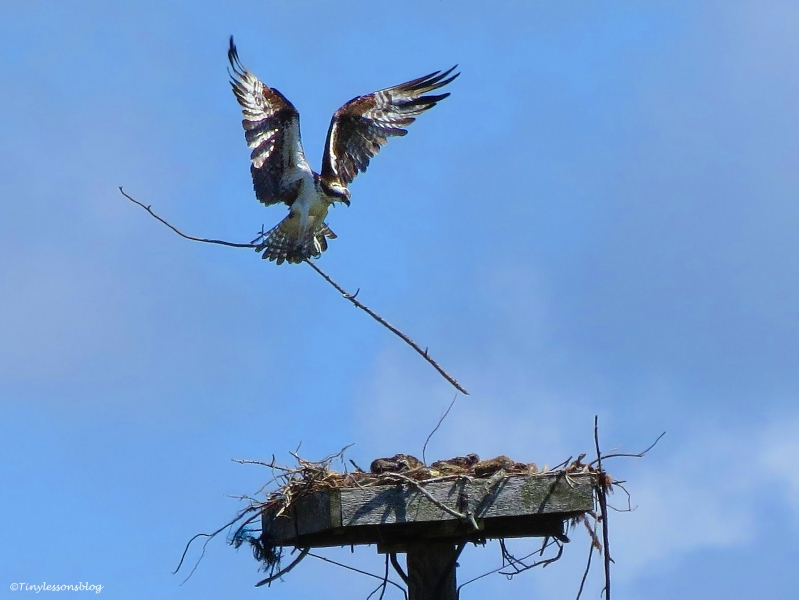 female osprey brings new reinforcements to the nest Sand Key Park Clearwater Florida