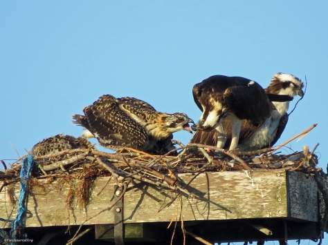 Female osprey feeds the smallest chick at sunrise in  Sand Key Park Clearwater Florida