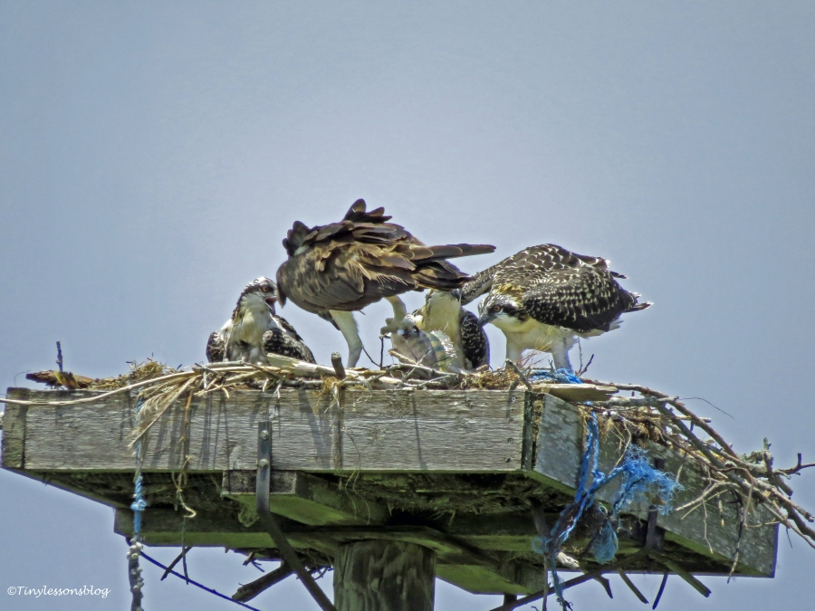 female osprey got a large fish Sand Key park Clearwater Florida