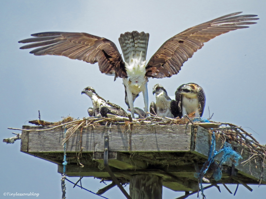 female osprey is back with a fish Sand Key park Clearwater Florida