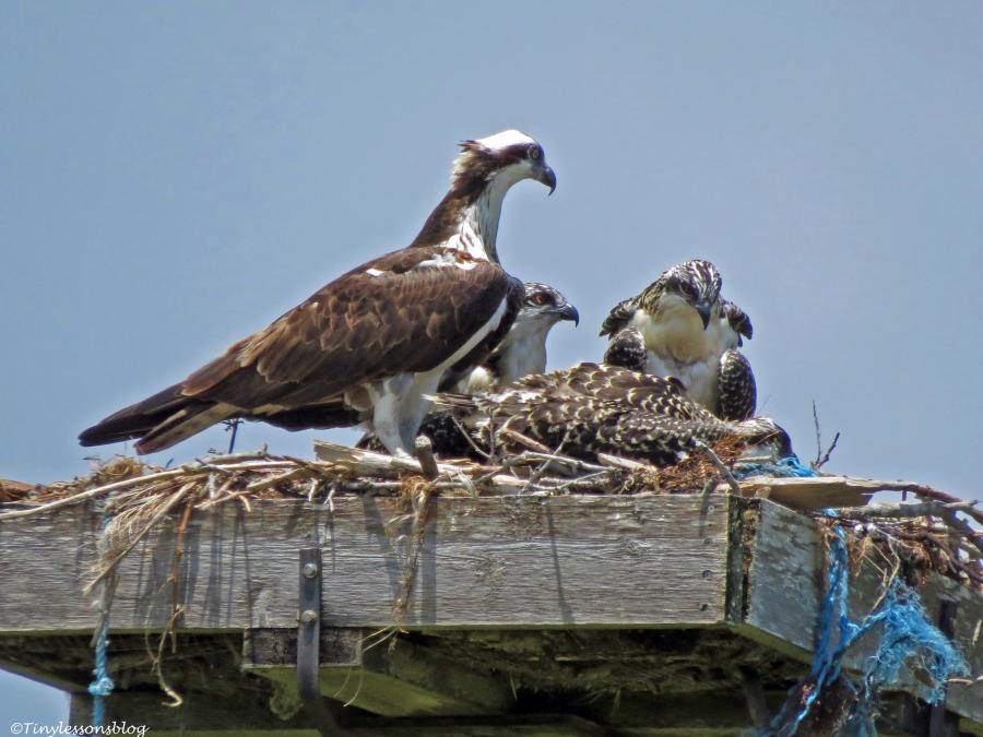 female osprey with osprey chicks Sand Key park Clearwater Florida