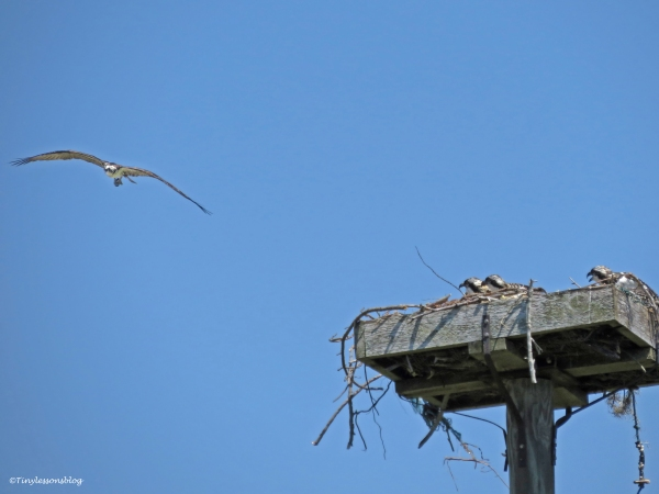 mama osprey returns from her dive Sand Key Park Clearwater Florida