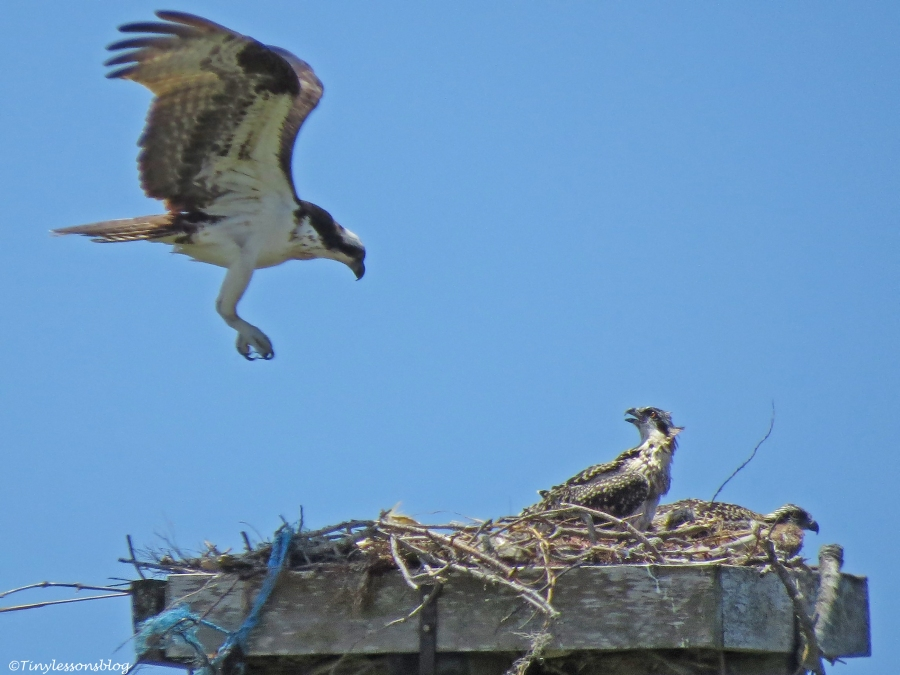female osprey returns to her chicks Sand Key park Clearwater Florida
