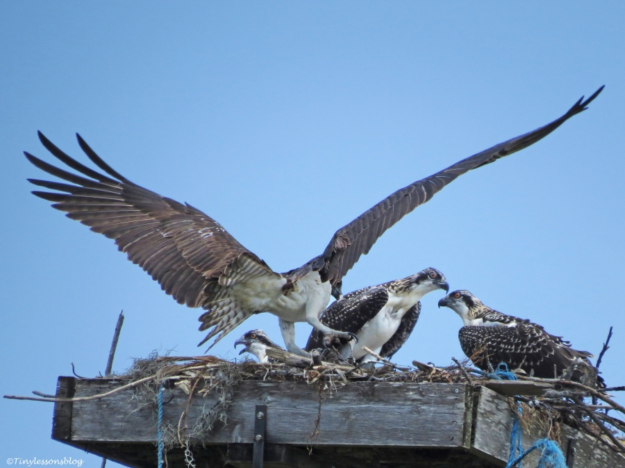 female osprey struggles with a fish Sand Key Park Clearwater Florida