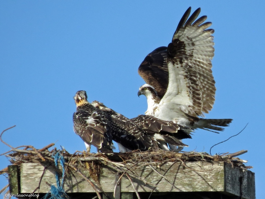 Fish transport is complete by male osprey Sand key Park Clearwater Florida