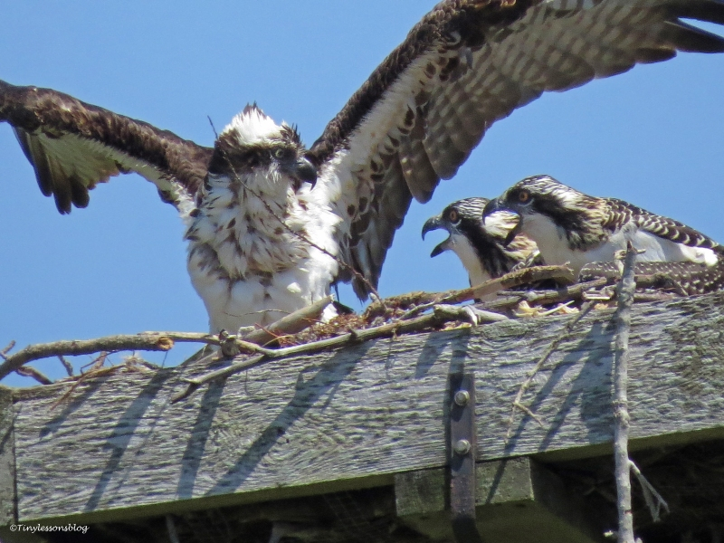 wet female osprey is back in the nest Sand Key Park Clearwater Florida