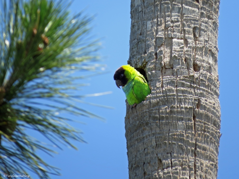 nanday parakeet in her nest Sand Key park Clearwater Florida