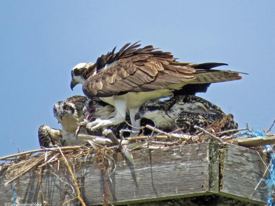 fame osprey feeding her chicks Sand Key park Clearwater Florida
