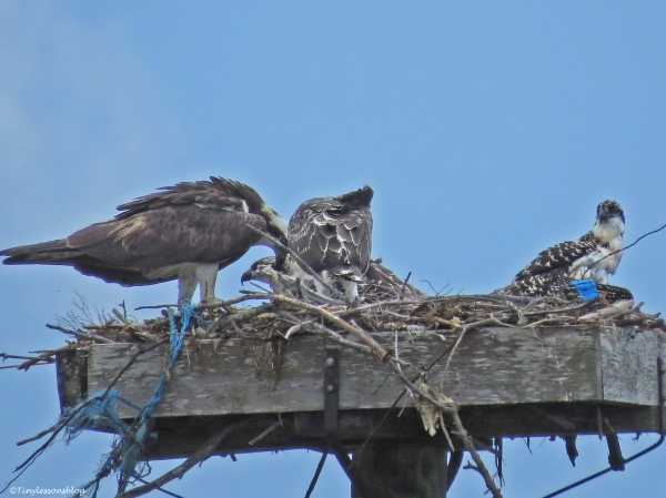 female osprey feeding the chicks Sand Key Park Clearwater Florida