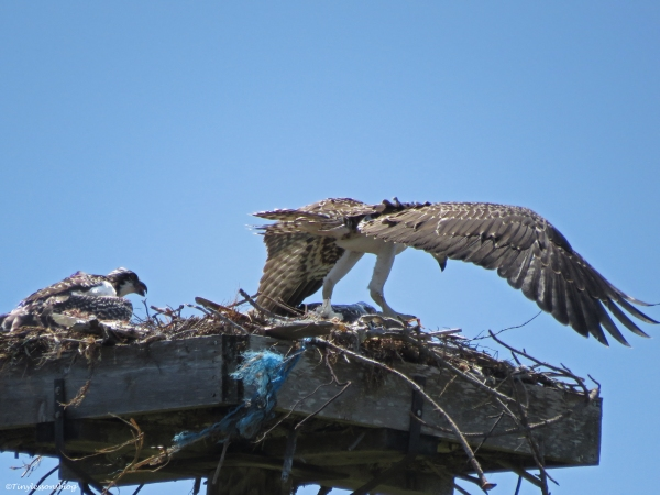 oldest osprey chick gains his footing Sand Key Park Clearwater Florida