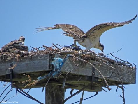 oldest osprey chick lands Sand Key Park Clearwater Florida