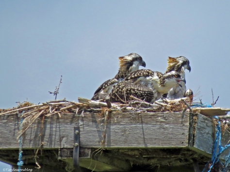 osprey chicks waiting for female osprey to return Sand Key park Clearwater Florida