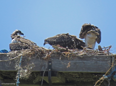 osprey chicks watching mama fly around Sand Key Park Clearwater Florida