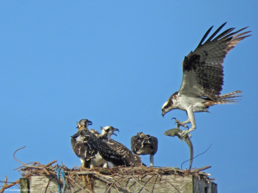male osprey brings a fish Sand key Park Clearwater Florida