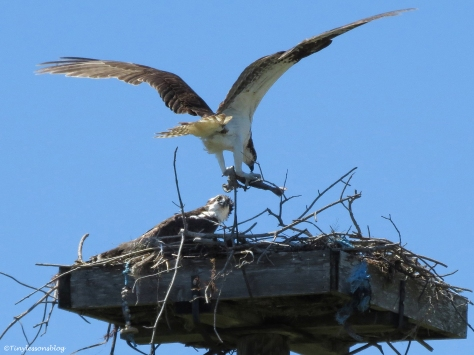 male osprey brings a fish into the nest Sand Key Park Clearwater Florida