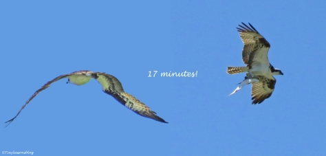 Male osprey goes fishing and comes back with a fish in 17 minutes Sand Key Park Clearwater Florida