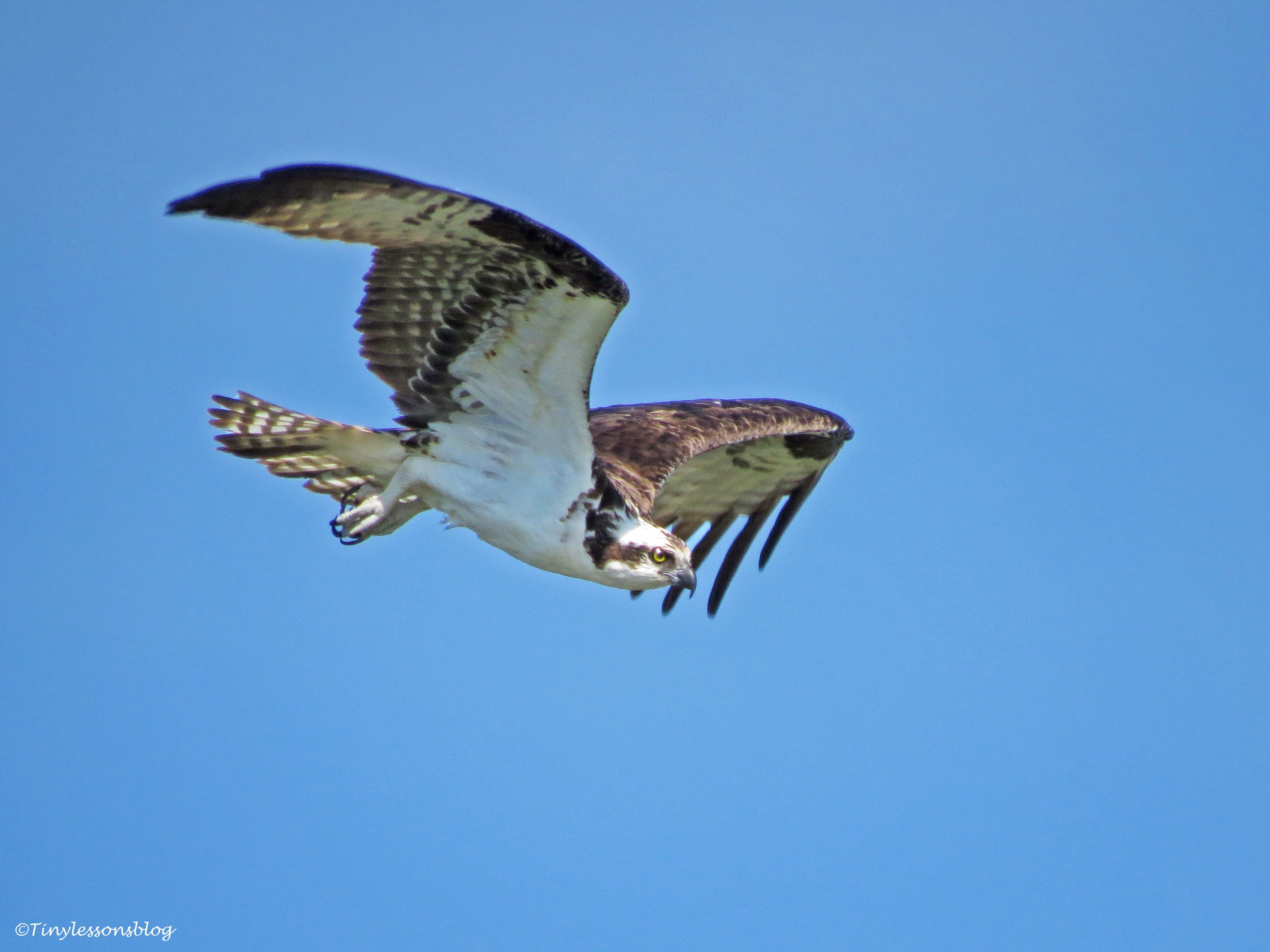 male osprey leaves the nest Sand Key park Clearwater Florida