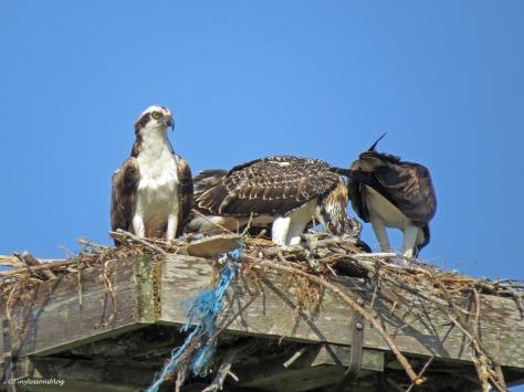 Osprey family breakfast Sand Key park Clearwater Florida