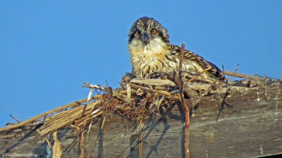 portrait of an osprey chick Sand Key, Clearwater, Florida