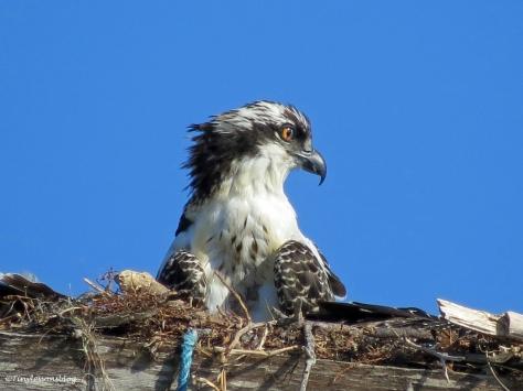 an osprey nestling Sand key Park Clearwater Florida