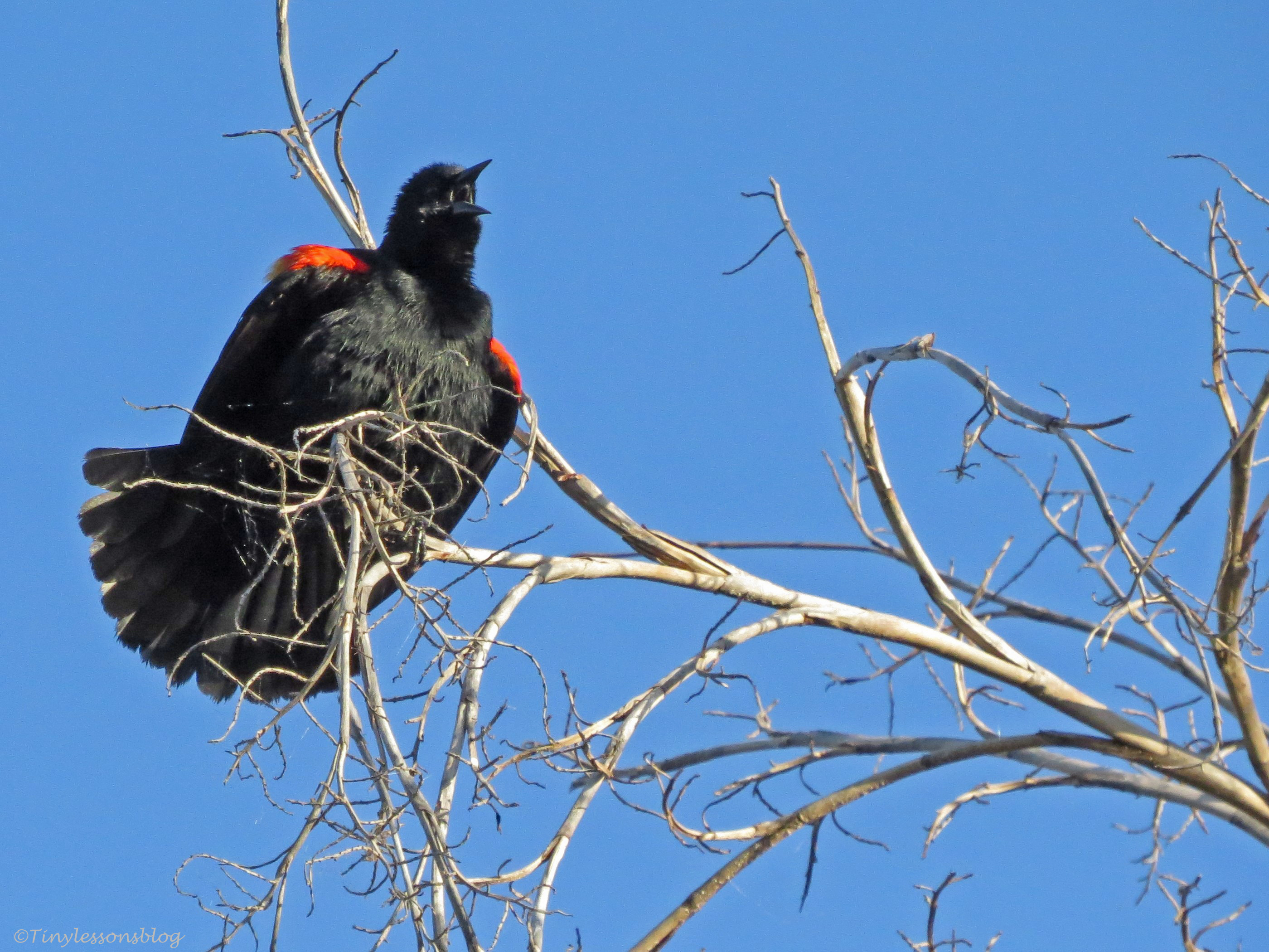 redwinged blackbird 3 UD6