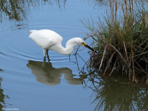 snowy egret hunting at sunrise Sand Key Park Clearwater Florida