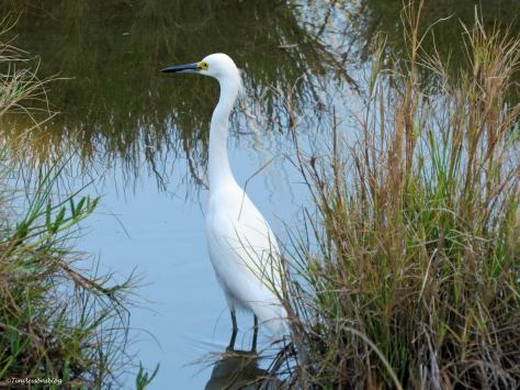 snowy egret in the morning Sand key Park Clearwater Florida