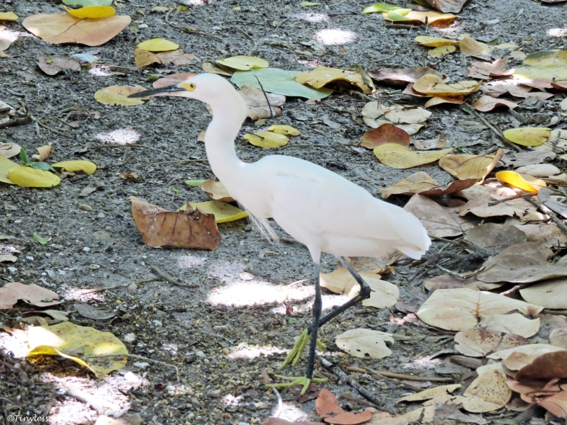 snowy egret Florida
