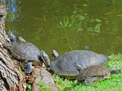 A few of the turtles enjoying the sun on land.