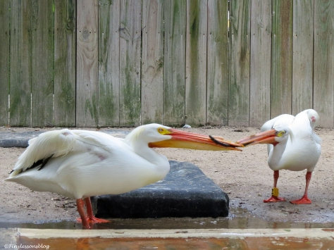 two injured white pelicans play with a stick