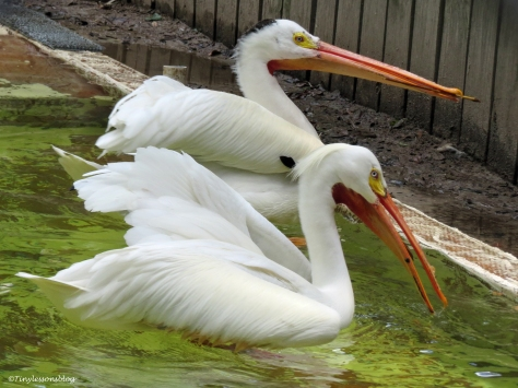 two white pelicans play in the pool