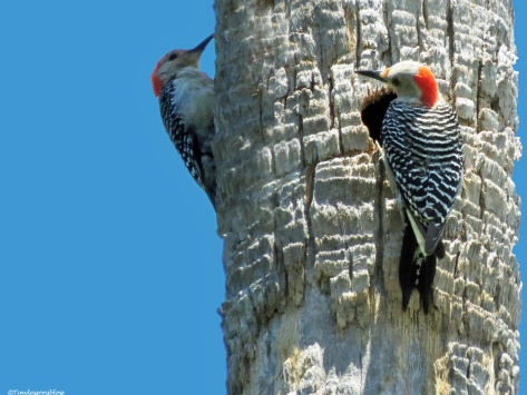 Red-bellied Woodpecker couple Sand Key park Clearwater Florida