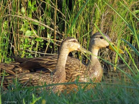 2 juvenile mottled ducks Sand Key Park Clearwater Florida