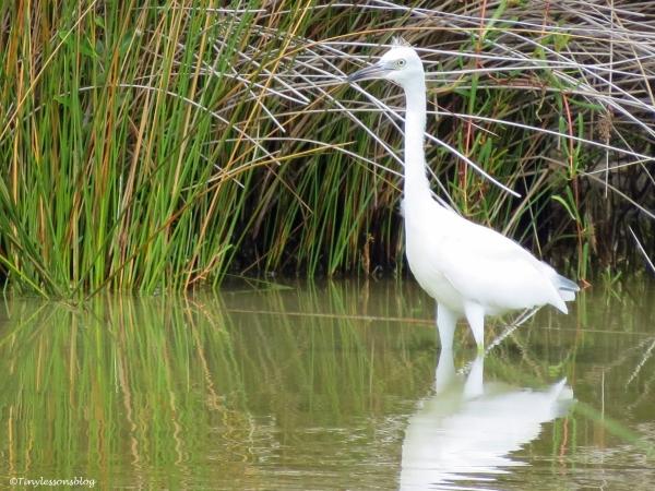 a snowy egret juvenile Sand Key Park Clearwater Florida