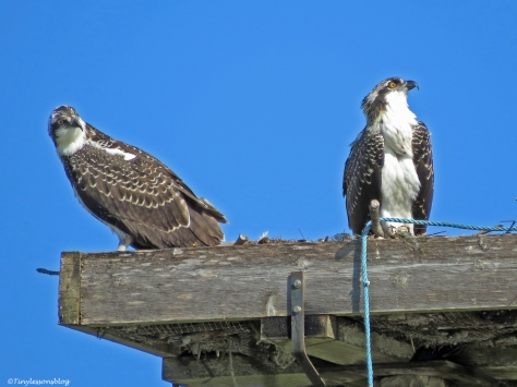 two osprey chicks Sand Key Park Clearwater Florida