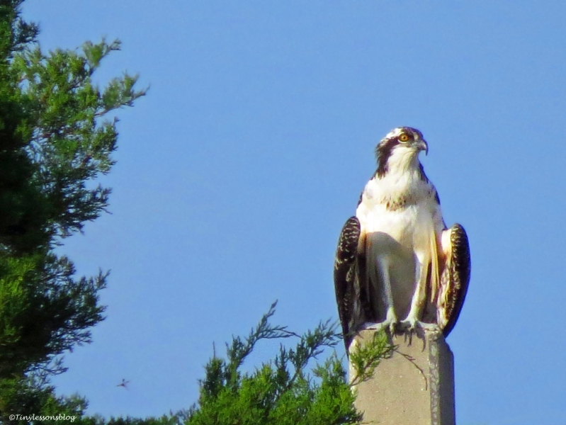 an osprey fledgling Sand Key Park Clearwater Florida