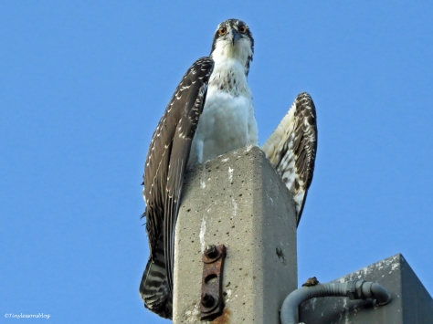an osprey fledgling perching close to the nest Sand Key Park Clearwater Florida